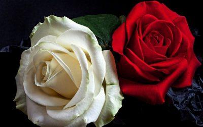 Why Roses Fail