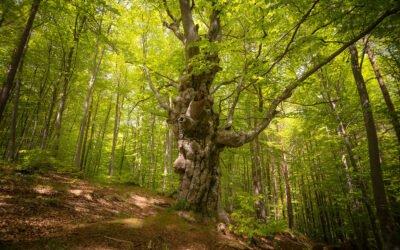 The Common Beech Tree (Fagus Sylvatica)